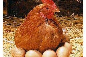 Hen-eggs.jpg